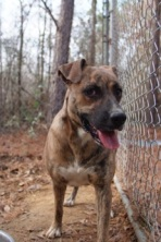 Roxie is another long timer in rescue.  She has been waiting on a home for over two years.  She is a catahoula mix.  She is a large girl but walks well on a leash.