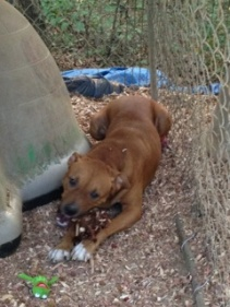Sprint has been in rescue for almost three years. He is a mountain cur. This breed has a high prey drive so he needs to be an only dog.
